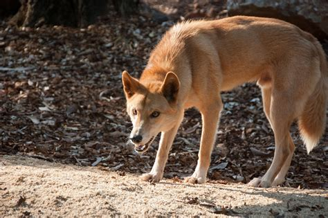 Dingo Wallpapers Backgrounds