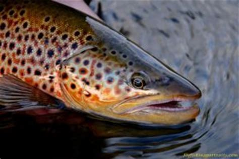 Free Madison River Trout Screen Saver Sign-Up! - Fly