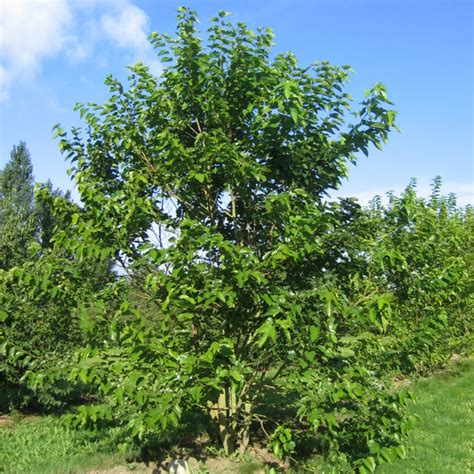 Morus alba (White Mulberry) from Practicality Brown