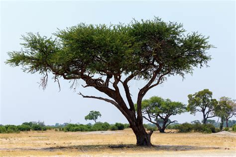 Large Acacia Tree In The Open Savanna Plains Africa Stock