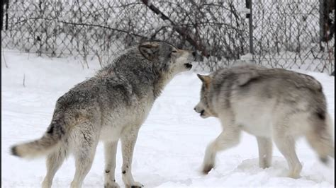 Gray Wolves Howling, Parc Omega - YouTube
