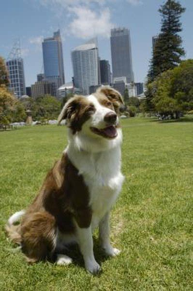 Summer Grooming of a Border Collie - Pets